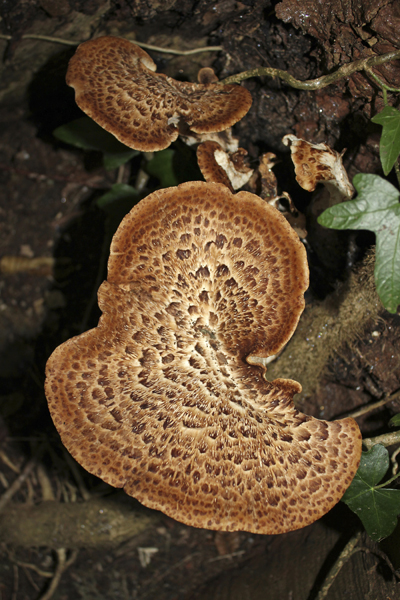 MNA Dibbinsdale Dryads Saddle Fungi1