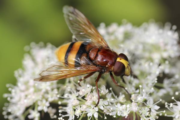 MNA Dibbinsdale Hornet Mimic Hoverfly1