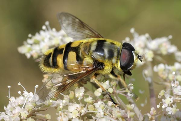 MNA Dibbinsdale Hoverfly Myathropa florea1