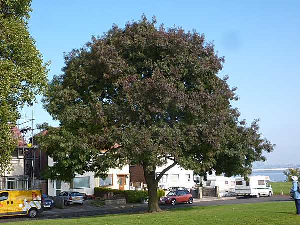 37 New Ferry Narrow leaved Ash