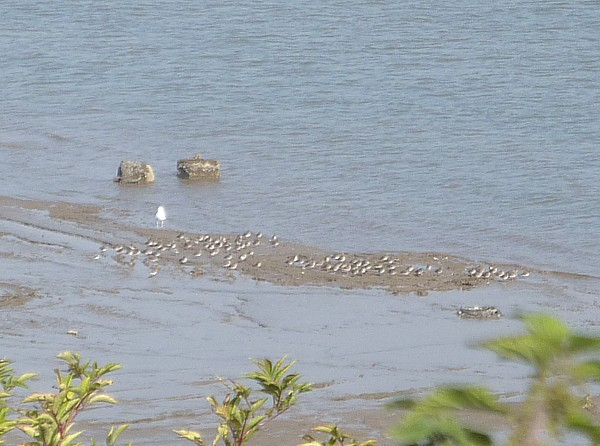 37 New Ferry birds on shore