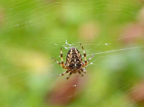 38 Gorse Hill Garden spider