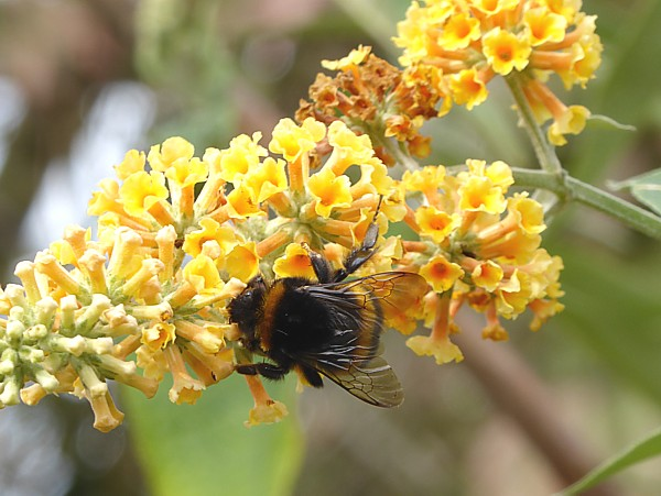 38 Gorse Hill bumble bee