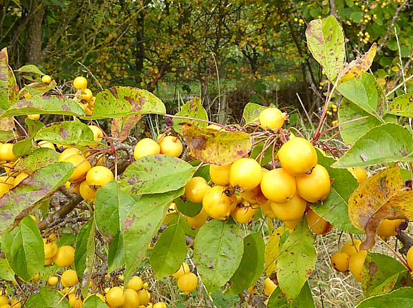 38 Gorse Hill crab apples