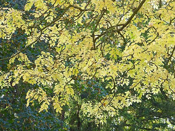 39 Tatton Manna Ash foliage