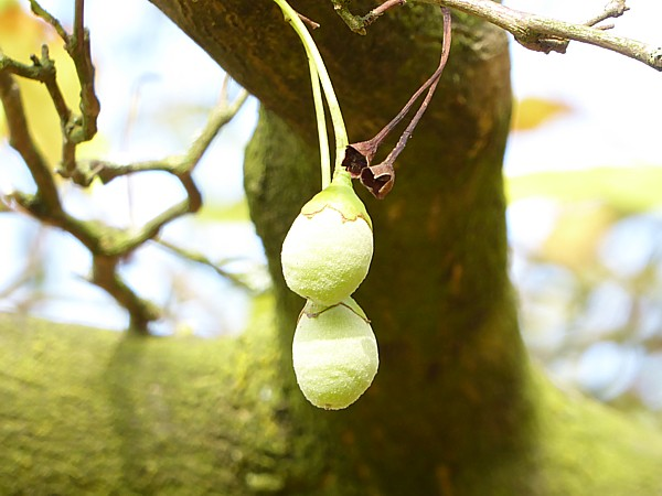 39 Tatton Snowbell tree fruit