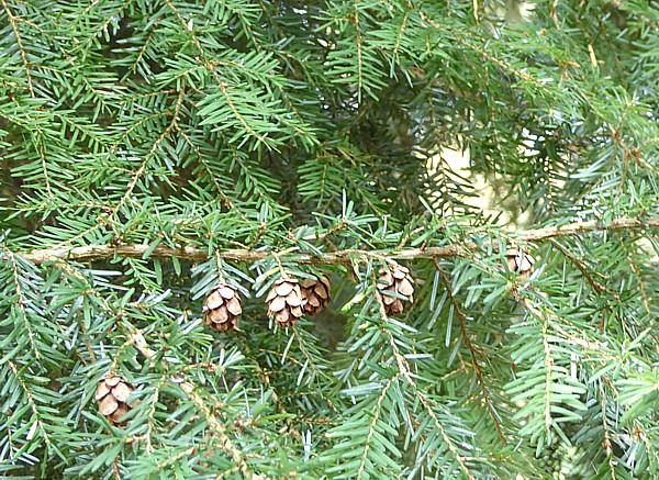 39 Western Hemlock cones