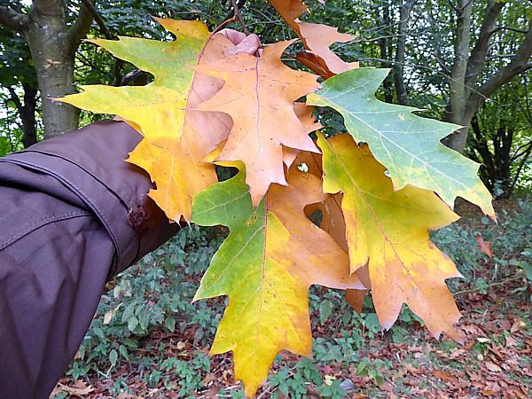 40 Stadt Moers Red Oak leaves