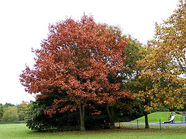 40 Stadt Moers Red Oak