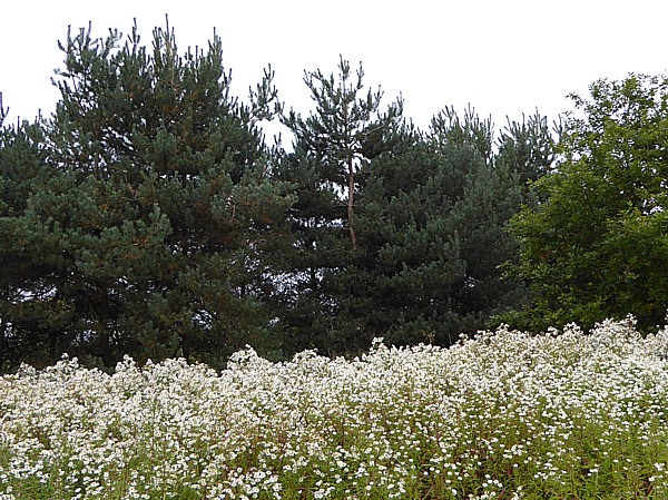 40 Stadt Moers white MD and pines