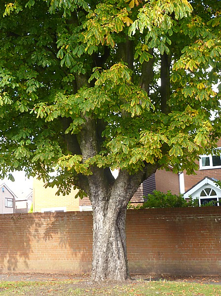 41 TPT11 Old horse chestnut