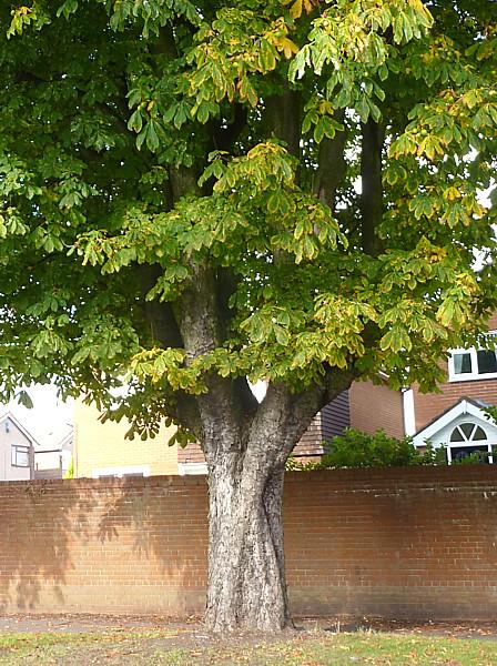 41 TPT11 Old horse chestnut