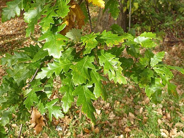41 TPT11 Turkey Oak leaves
