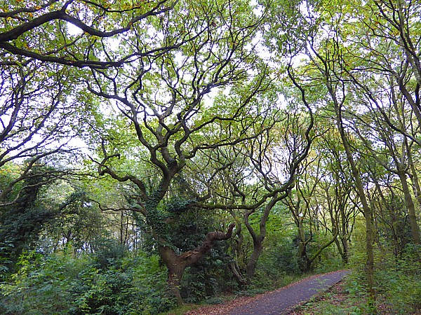 41 TPT11 Twisty oaks