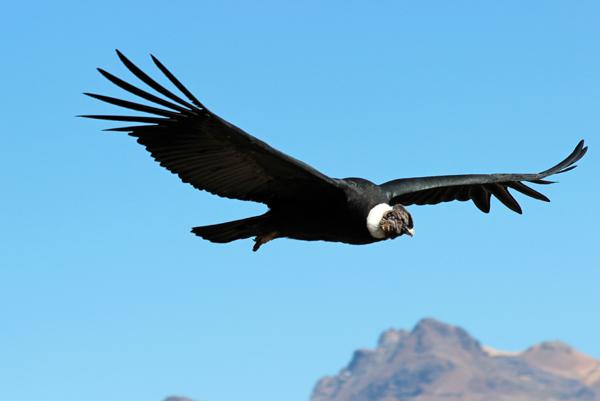 MNA Andean Condor1