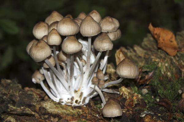 MNA Dibbinsdale Bonnet Fungi1