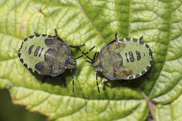 MNA Dibbinsdale Green Shield Bug Nymph1