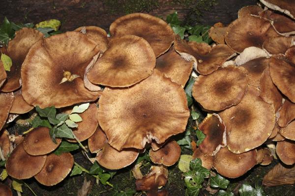 MNA Dibbinsdale Honey Fungus1