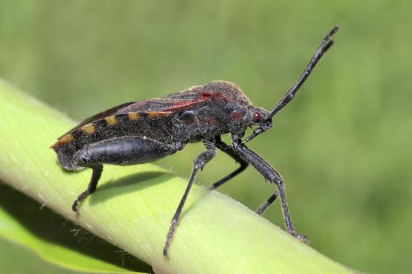 MNA Peru Bug Adult1