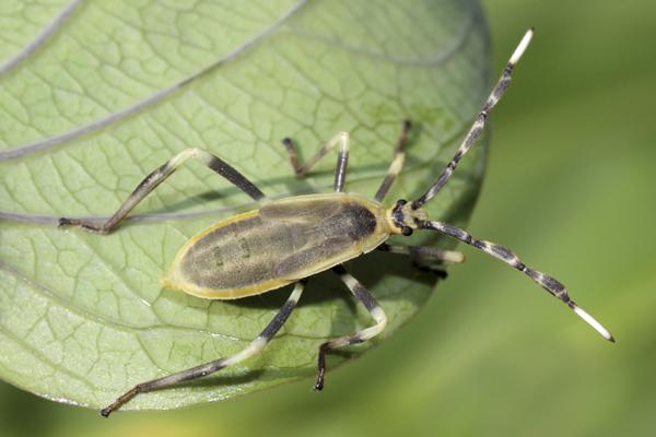 MNA Peru Bug Nymph1