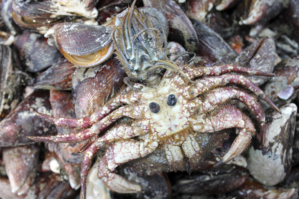 MNA Peru Crab1