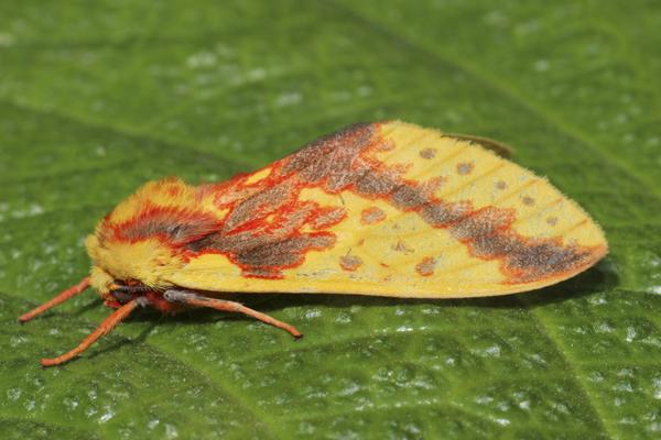 MNA Peru Moth1