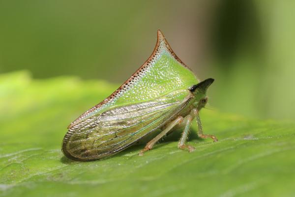MNA Peru Thorn Bug1