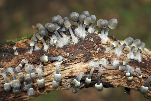 MNA Tatton Mycena arcangelina1