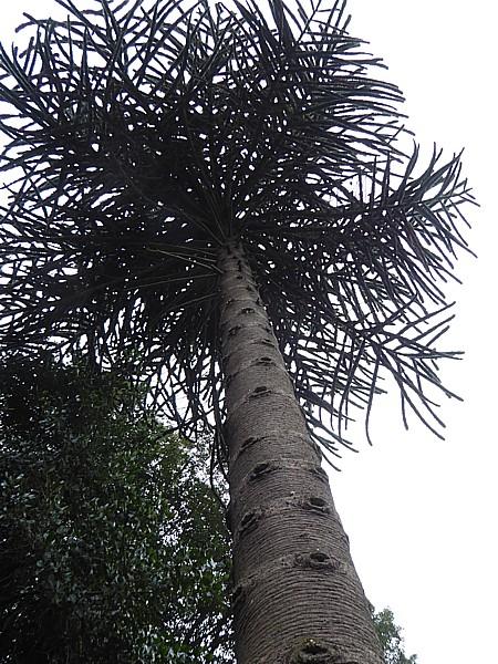 42 Flaybrick Chilean pine