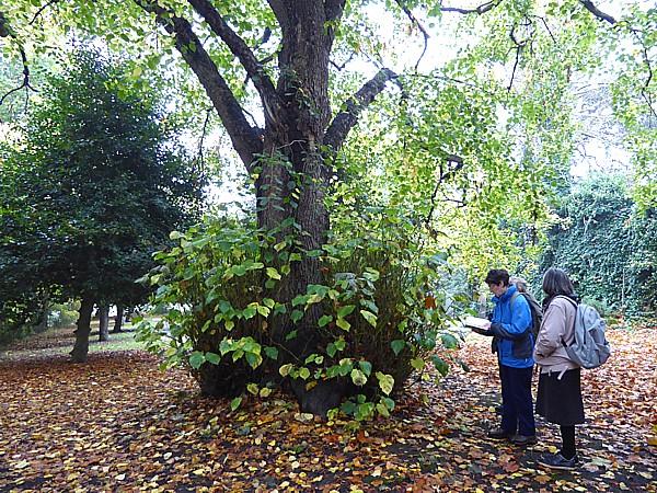 42 Flaybrick Large leaf lime