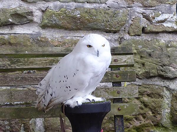 42 Flaybrick Snowy Owl