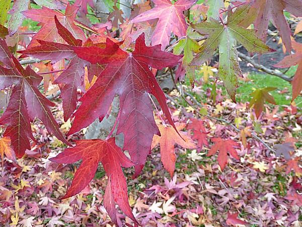42 Flaybrick Sweet gum foliage