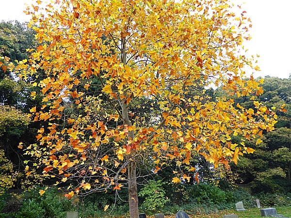 42 Flaybrick Tulip tree