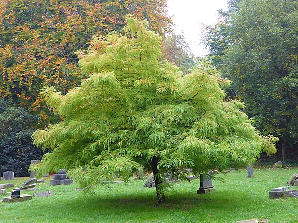 42 Flaybrick mystery tree