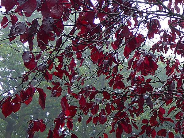 42 Flaybrick purple leaves