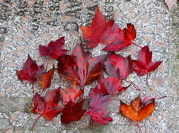 42 Flaybrick red maple leaves