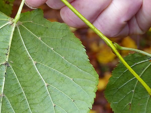 42 Flaybrick small leaf tufts