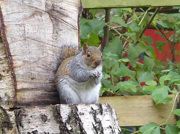 42 Flaybrick squirrel