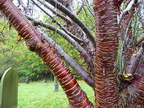 42 Flaybrick tibetan cherry bark