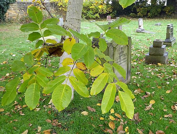 42 Flaybrick walnut bark and leaves