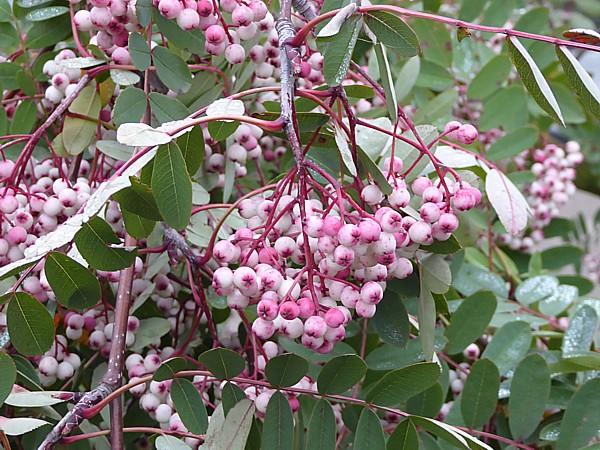 43 NMA Hupeh Rowan berries