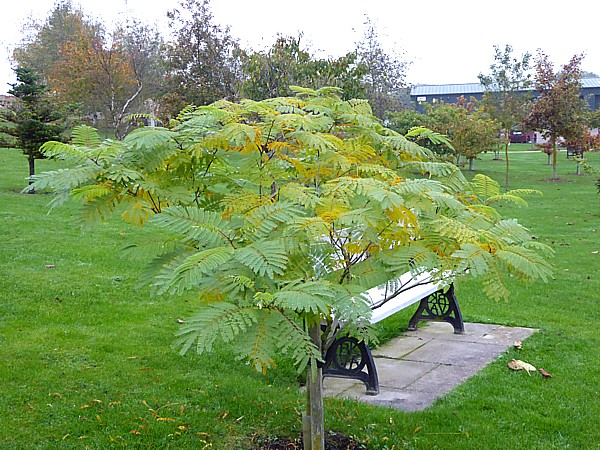 43 NMA Silk Tree