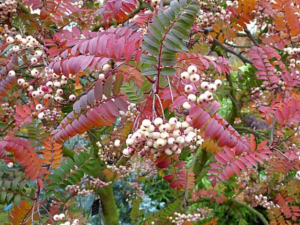 43 NMA Vilmorin Rowan berries