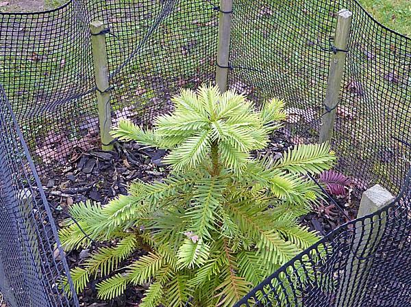 43 NMA Wollemi Pine