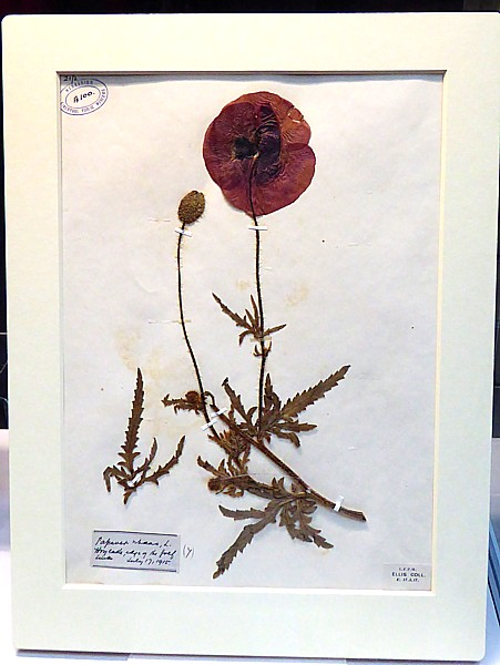 44 Remembrance poppy specimen