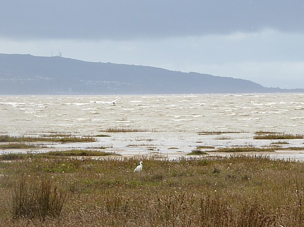 45 West Kirby Little Egret