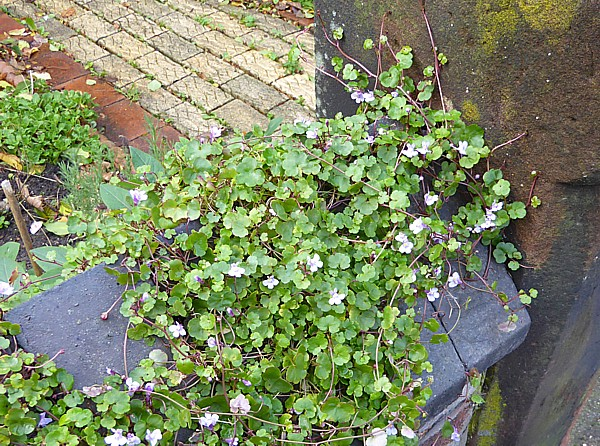 45 West Kirby ivy leaved toadflax