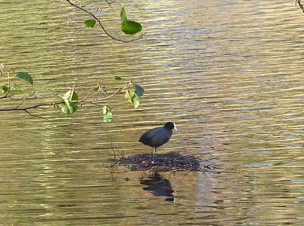 46 Sefton Park Coot on nest