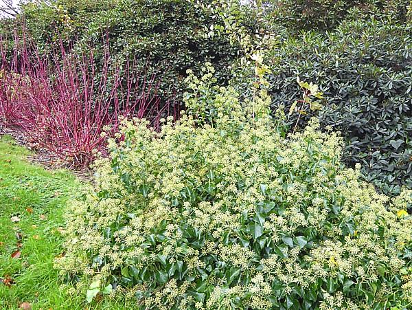 46 Sefton Park ivy clump