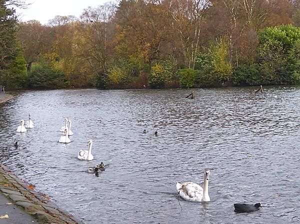 46 Sefton Park swan family